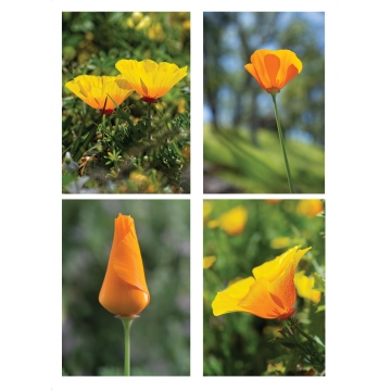 California Poppies Mini Cards Set of 4 by Photographer Susan Stoll (Available for Shipping or Local Pick-up)