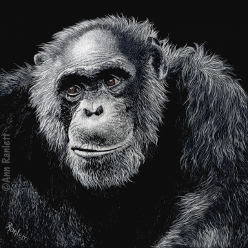 """Jacob"" - Original Scratchboard Drawing by Ann Ranlett (Available for Shipping or Local Pick-Up)"