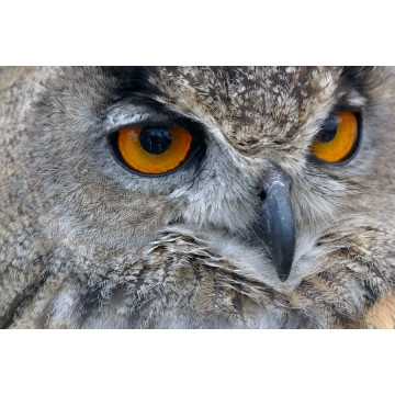 "18 Inch Matted Photograph ""Eurasian Eagle Owl"" by Darlene Riel (Available for Shipping or Local Pick-Up)"
