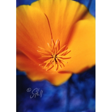 California Poppy Framed Photograph by Susan Stoll (local pick-up only)