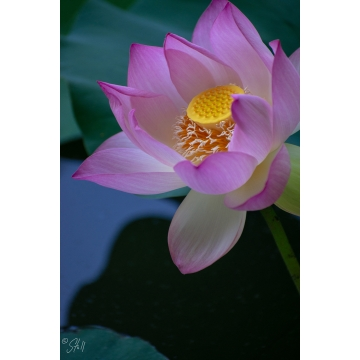 """Framed and Matted Photograph """"Lotus #4"""" by Susan Stoll (Local Pick-Up Only)"""