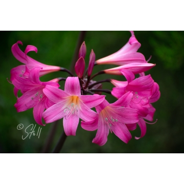 "Framed and Matted Photograph ""Belladonna Lily"" by Susan Stoll (Local Pick-Up Only)"